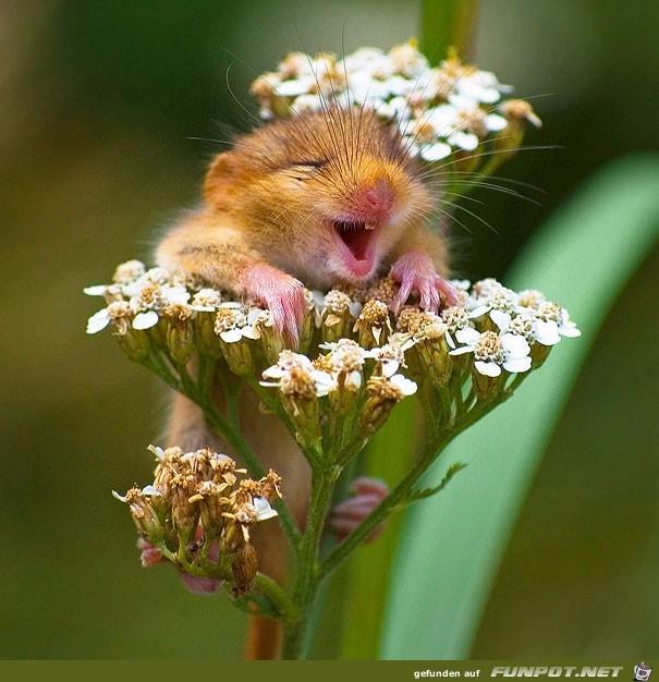 Hamster in Blüte