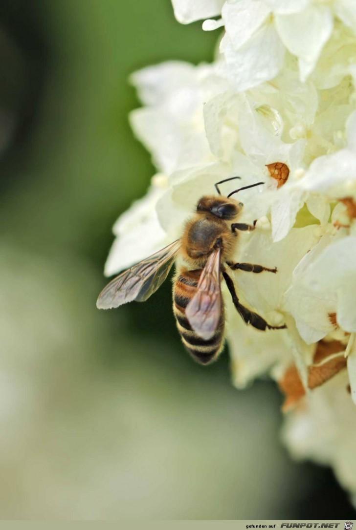 Biene aud Obstblüte