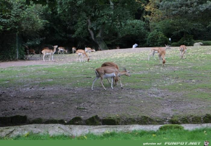 Hagenbeck73 Antilopen und Hirsche1
