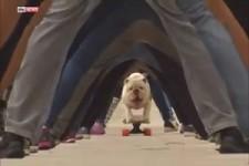Bulldogge skatet durch 30 Beinpaare