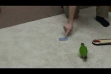 World Record 20 Parrot Tricks in 2 Minutes -