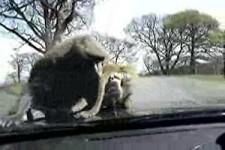 die Affen auf der Motorhaube