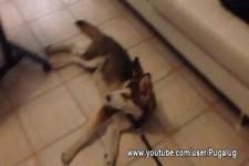 Gassi gehen mit dem faulsten Hund der Welt