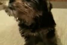 weinender Hund