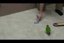 World Record 20 Parrot Tricks in 2 Minutes