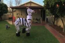 Gedoptes Zebra