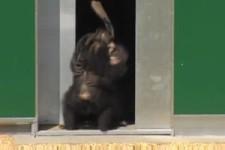 Nach 30 Jahren im Labor  Schimpansen sehen zum ersten Mal So