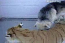 Tiger und Hund