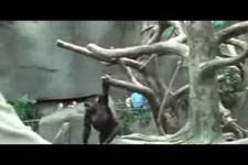 klein Gorilla