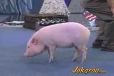 dressiertes Schwein