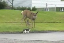 Wütende Mutter Hirsch greift Katze und Hund 12 Mig Janv 11