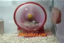 hamster-andele
