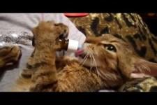 kennst du die Katzensprache