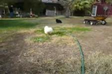 Hahn jagt Katze