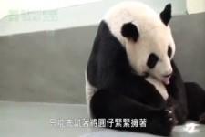 Krankes Panda darf zur Mutter