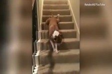 Dogs Who Can t figure out stairs v