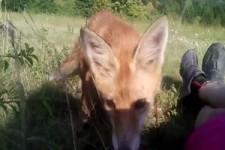 Auf Tuchfuehlung mit dem Fuchs