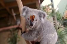 Koala und Schmetterling