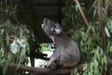 Koala-Rülpser