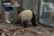 Pandas wollen mit dem Laub spielen