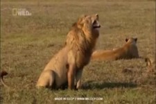 Lustiger Löwe