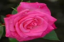 Rosen bluehen