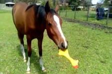 Pferd hat Spass mit Quitscheente