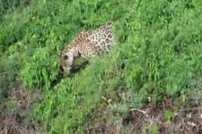 Jaguar-Fishing