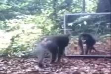 Gorilla im Spiegel