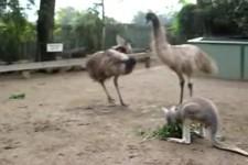 Flippiges Känguru