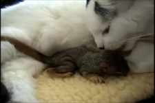 Cat rescues baby squirrel - Mary Cummins Animal Advocates.