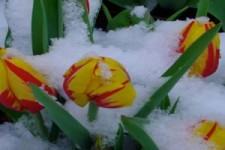 Schnee und Blumen