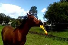 Pferd steht auf Gummi-Huhn