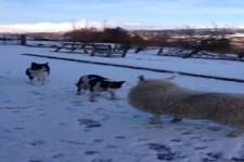 Schaf hütet die Hunde