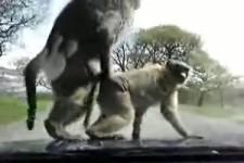 auch Affen haben das Verlangen