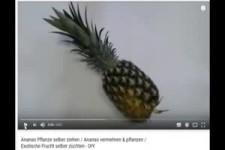Eine Ananas neu Pflanzen