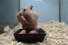 Hamster face changes