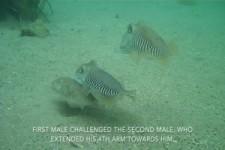 Tintenfisch-Kampf