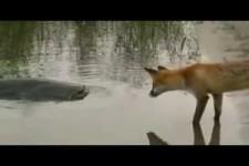 CATFISH VS FOX by CATFISHING WORLD