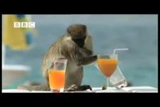 Affen in der  Natur.