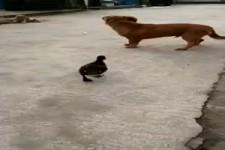 Ente vs Hund