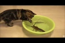Japanese spiny lobster vs Cat.