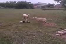 Ente gegen Schaf