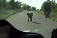 Baby-Elefant macht auf dicke Hose