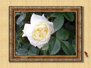 In der Galerie 16 Rosen wei ss