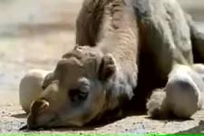 Totes Kamel