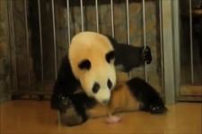 Panda-Geburt