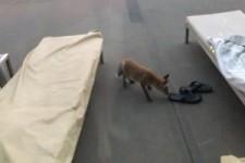 Fuchs stiehlt Schuh