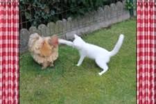 Katze aergert Huhn