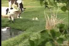 Hase gegen Ziege